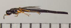 Hymenoptera, Macroteleia sp.  - Macroteleia - female
