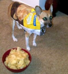 Moose, a one and a half year corgi/pug mix is always the center of his HOWLoween parties by providing a nice snack for the guests. Corgi Pug, Pugs, Pet Halloween Costumes, Pet Costumes, Pug Mix, Daily Record, Costume Contest, Moose, Pug