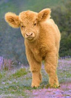 I just found out about fluffy cows people Cute Baby Animals, Farm Animals, Animals And Pets, Funny Animals, Wild Animals, Cute Creatures, Beautiful Creatures, Animals Beautiful, Hello Beautiful