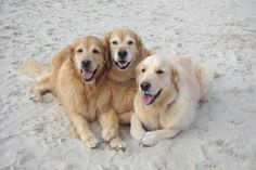 Ben and Ty with their paws tucked under so sweetly ..3 happy campers  on the beach :)