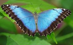 ROLY0232- Butterfly Morpho peleides Morphidae Costa Rica 轻便铁路 ... Costa Rice, Butterfly, Insects, Tattoo Ideas, Animals, Butterflies, Papillons, Animales, Animaux