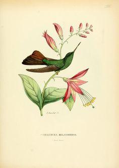 Bronze-tailed plumeleteer, Central America. Histoire naturelle des oiseaux-mouches, ou, Colibris constituant la famille des trochilidés, Martial Étienn Mulsant, 1874.