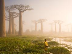 """Marsel Van Oosten (Your Shot) retrató estos árboles baobab de más de 800 años en Madagascar. A esta especie de árbol se le conoce como """"Madre del bosque"""", su conjunto forma un microecosistema ideal para albergar muchas especies. Son también una importante fuente de agua, pueden almacenar hasta 4 mil litros de agua en es su tronco. Para África es, literalmente, el árbol de la vida. -"""