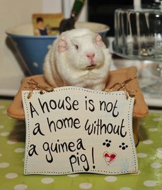 A house is not a home without a guinea pig!