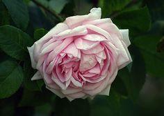 Moss Rose: Rosa 'Madame Edouard Ory'