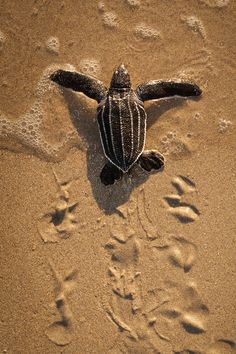 See baby sea turtle hatchlings make their way to the ocean on the Singer Island beaches. www.SingerIslandLifestyles.com