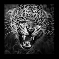 Photo # 7862328562 Black and White Animal Pictures Nature Animals, Animals And Pets, Cute Animals, Beautiful Cats, Animals Beautiful, Animal Jaguar, Jaguar Tier, Majestic Animals, Mundo Animal