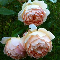 This rose is perfection - Jude the Obscure.   Such a pretty rose.  Hope it will grow on the west coast.