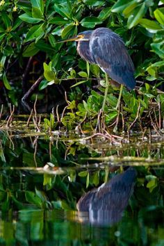 Tricolored Heron (Egretta tricolor) hunting in the mangroves on Grand Cayman Island by Billz :)