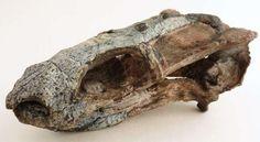 Rastodon fossil skull from Brazil.