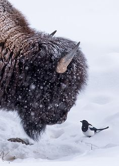 Beauty and the beast in Yellowstone in The magpie landed right in front of the face of the bison and they gazed into each others eyes for a moment before the magpie returned to the bisons back. Nature Animals, Animals And Pets, Funny Animals, Cute Animals, Animals In Snow, Wild Animals, Beautiful Creatures, Animals Beautiful, American Bison