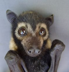 spectacled bat - it's like an upside down puppy with wings
