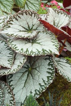 Begonia imperialis 'Silver Lace'. Silver and green, with red undersides.