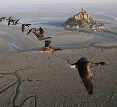 Oies sauvages survolant le Mont Saint-Michel ! #view #monument #héritage