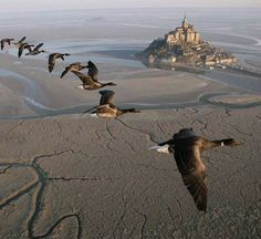Oies sauvages survolant le Mont Saint-Michel (France)