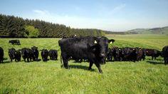 Rump (Popeseye)/spider  Steak - Scottish Online Butcher, Order Meat Online. Cheap cut good for frying.
