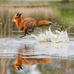 Red fox running across a shallow pond Animals Of The World, Animals And Pets, Baby Animals, Funny Animals, Cute Animals, Tier Wolf, Fox Running, Fantastic Fox, Fox Art