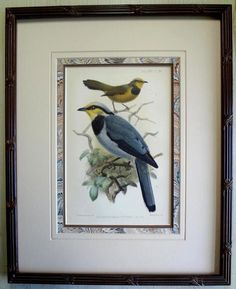 Antique,Bird,Print,Litho-J. G.Keulemans Ibis Ornithology Fruithunter 1887 Framed #Vintage131yearsold