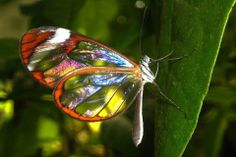 glass winged butterfly gorgeous