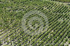 Photo about Vine yard seen from the height (France). Image of hill, field, france - 30600935 Vine Yard, In The Heights, Vines, City Photo, Royalty Free Stock Photos, France, Nature, Image, Vineyard