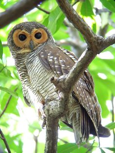 Spotted Wood Owl by See Toh Yew Wai, via Flickr