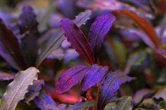 Bucephalandra -The Unparalleled beauty among aquatic plants ( Part 1 ) – Exoaquaristic
