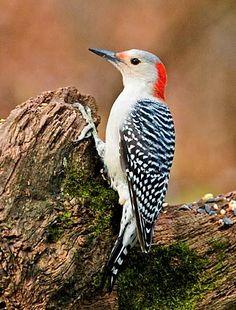 Red-bellied Woodpecker adult female by Gary Mueller