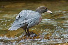 Blue Duck Aquatic Birds, Swans, Magpie, Pets, Blue, Animals, Animales, Animaux, Animal
