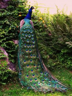Peacock, so pretty! Peacock Images, Peacock Pictures, Peacock Pics, Male Peacock, Pretty Birds, Beautiful Birds, Animals Beautiful, Exotic Birds, Colorful Birds