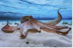 Stretched Canvas Print: Octopus by Barathieu Gabriel : 32x48in