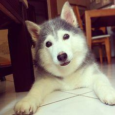 Husky_Miu miu