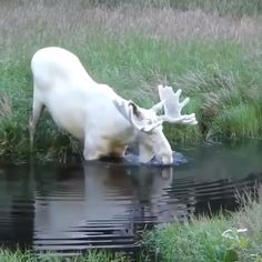 Albino moose – very rare? Albino moose – very rare? This image has get 305 … - List Ideas Cute Funny Animals, Cute Baby Animals, Animals And Pets, Cutest Animals, Lake Animals, Wild Animals Videos, Beautiful Creatures, Animals Beautiful, Majestic Animals