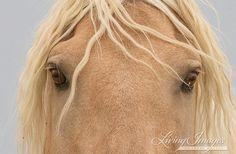 Corona's Eyes  Fine Art Wild Horse Photograph by Carol Walker www.LivingImagesCJW.com