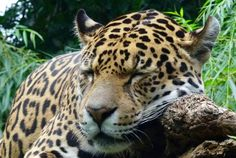 5 facts I did not know about Jaguars. By Tracey Everington Jaguar, Professor, Melanism, Hd Backgrounds, Wallpapers, Big Cats, Art Blog, Animals Beautiful, Creatures