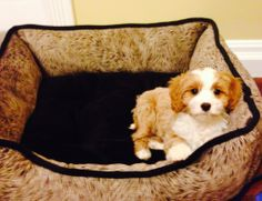Wish the cavapoo