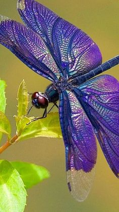 Libellule - This is so pretty ~ which makes me wonder if it isn't fake? Dragonfly Photos, Dragonfly Art, Dragonfly Tattoo, Dragonfly Symbolism, Bugs And Insects, Flying Insects, Beautiful Bugs, Beautiful Butterflies, Beautiful Creatures