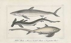 Antique print: picture of Great White Shark, Hammer Head Shark, Long Tailed Shark -