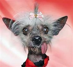 Chinese Crested dog - my future dog when I am older. Fun Facts About Animals, Animal Facts, Funny Animal Pictures, Funny Animals, Cute Animals, Cavalier King Charles, World Ugliest Dog, Chinese Crested Hairless, Hairless Dog