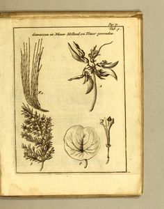 William: Dampier's Book   Plant Illustration; : - Biodiversity Heritage Library