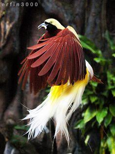 Cendrawasih = Indonesia Birds