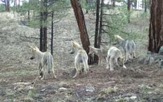 Five Middle Fork pups in the summer of 2011.  Photo courtesy of the Mexican Wolf Interagency Field Team.