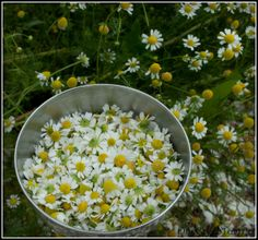 German Chamomile - Growing & Preserving it, plus how it differs from Roman/English Chamomile