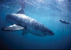 How much do you know about the skeletons of Great White sharks? #sharks