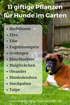 11 giftige Pflanzen für Hunde im Garten -Buchsbaum, Efeu, Eibe, Engelstrompete, Goldregen, Kirschlorbeer, Maiglöckchen, Oleander, Rhododendron, Stechpalme, Tulpe