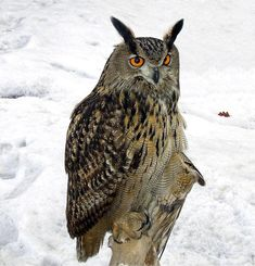 The Eurasian eagle-owl (Bubo bubo) is a species of eagle-owl that resides in much of Eurasia. It is sometimes called the European eagle-owl and is, in Europe, where it is the only member of its genus besides the snowy owl (B. scandiacus), occasionally abbreviated to just eagle-owl. It is one of the largest species of owl. Besides being one of the largest living species of owl, it is also one of the most widely distributed.[5] The Eurasian eagle-owl is found in a number of habitats but is…