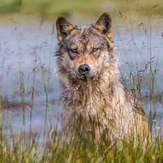 Photograph by @paulnicklen // A coastal wolf of British Columbia peers at me through the grass.  I love being discovered by these great predators and then accepted.  After she fully assessed me with her incomparable senses  she went to sleep in a bed of grass just twenty feet away.  I put my camera down so as not to bother her with the annoying sound of the camera shutter.  I leaned against a log closed my eyes and realized the moment that I was resting in a grassy field with a wild wolf on…