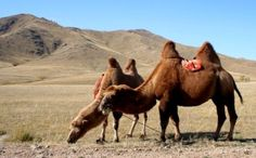 Mysterious Livestock Deformities and Deaths Rampant in Mongolia