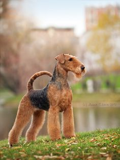 Airedale Terrier Dog Breed Information, Popular Pictures - All Dogs Get Their Wings :) - Chien Airedale Terrier, Pitbull Terrier, Terrier Dog Breeds, Welsh Terrier, Terriers, Dog Breeds Little, Large Dog Breeds, Shepard Dog Breeds, English Dogs