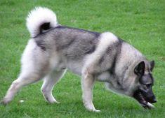 About Dog Norwegian Elkhound: Basics of Norwegian Elkhound Training