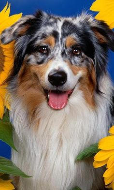 Dogs are the most charming and cute creatures in the world, they faithfully serve humanity for centuries. Australian Shepherd Jigsaw Puzzle - a game in which you can collect your favorite puzzles on the topic of this wonderful and amazingly beautiful breed of dog. Appendix necessarily appeal to all fans of dogs, regardless of age and gender! Features puzzle game: Beautiful and wonderful pictures in high quality specially selected for the fans of this beautiful breed of dog The ap...